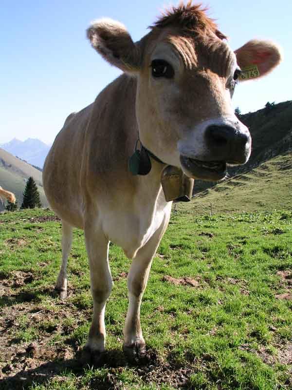 vache_qui_a_la_folliu